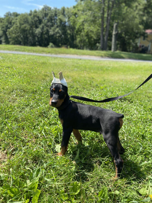 Hercules - AKC Doberman male puppy for sale at New Hampton, New York State