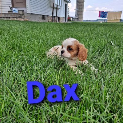 Dax and Dozy - puppies ACA Cavalier King Charles Spaniel for sale at New Haven, Indiana