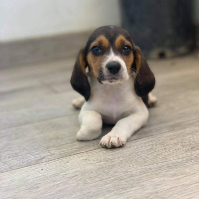 Beagle - Beagle female puppy for sale in San Diego, California