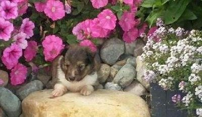 Buddy - AKC Shetland Sheepdog male puppy for sale at Grabill, Indiana