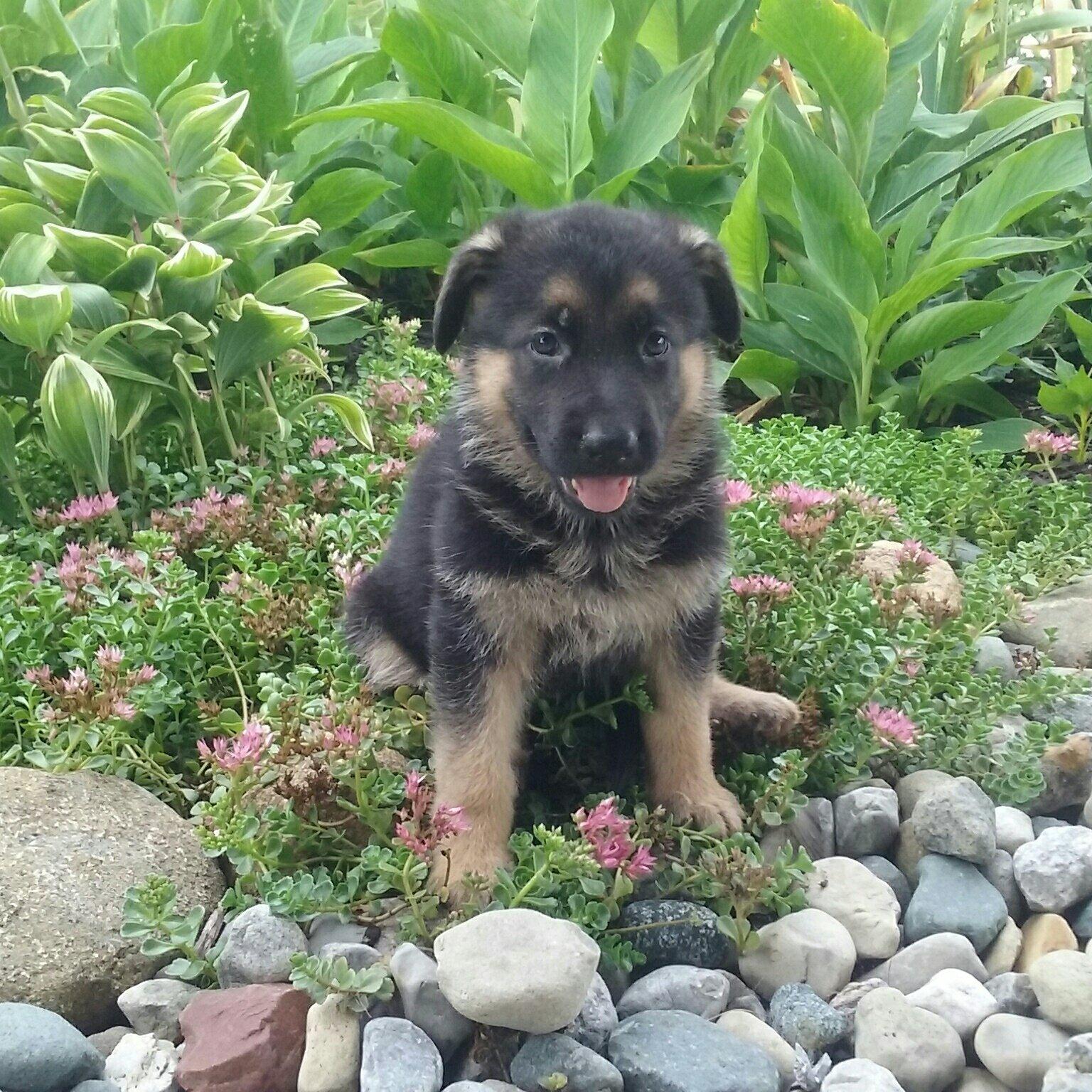 Heidi - AKC German Shepherd female puppie for sale in Grabill, Indiana