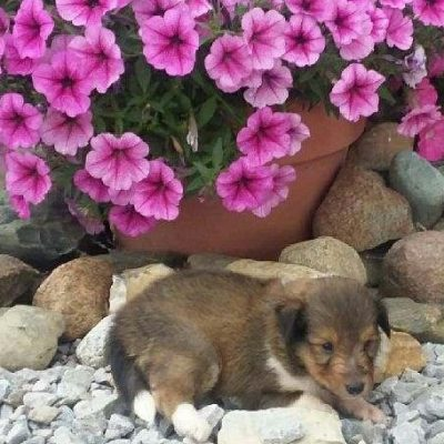 Tucker - AKC Shetland Sheepdog male puppie for sale near Grabill, Indiana