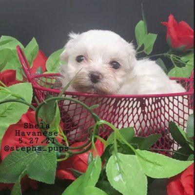 SOLD Stela - AKC Havanese female puppy for sale in Katy, Texas