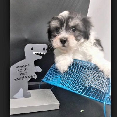 Benji- AKC Havanese male pup for sale at Katy, Texas