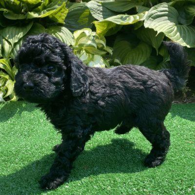 Legacy - puppy ACA Miniature poodle female for sale at Harrisburg, Pennsylvania