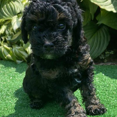 Love - ACA Miniature Poodle female pupper for sale near Harrisburg, Pennsylvania
