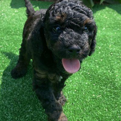 Leland - ACA Miniature Poodle male doggie for sale at Harrisburg, Pennsylvania