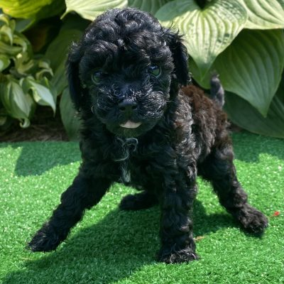 Lily - ACA Miniature Poodle female puppie for sale in Harrisburg, Pennsylvania