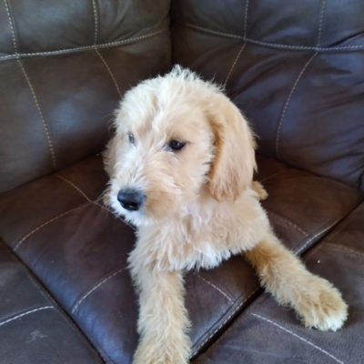 Cece - doggie Labradoodle female for sale in New Haven, Indiana