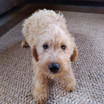 Summer - Labradoodle female pupper for sale at New Haven, Indiana