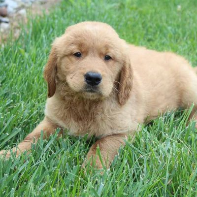 Charlie - AKC Golden Retriever male puppie for sale in Spencerville, Indiana