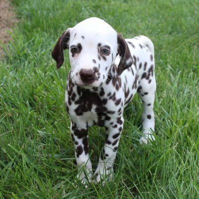 Angel - AKC Dalmatian female pupper for sale at Spencerville, Indiana