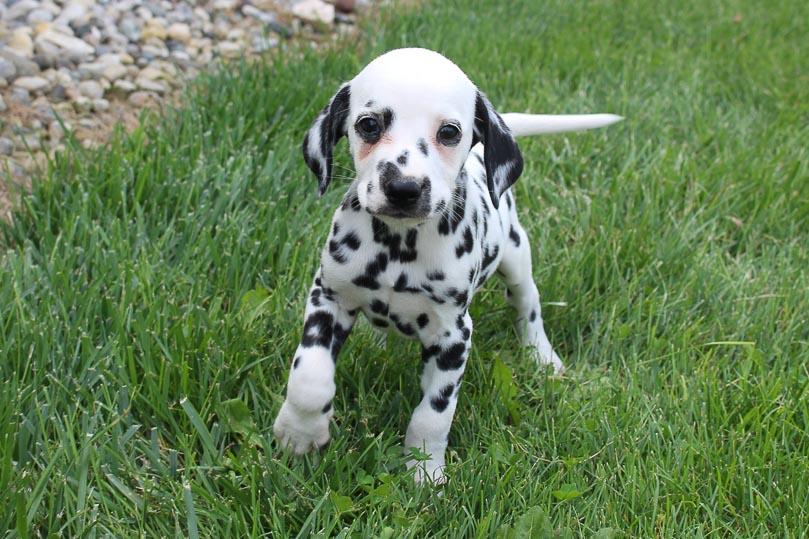 Kody - AKC Dalmatian male puppie for sale near Spencerville, Indiana