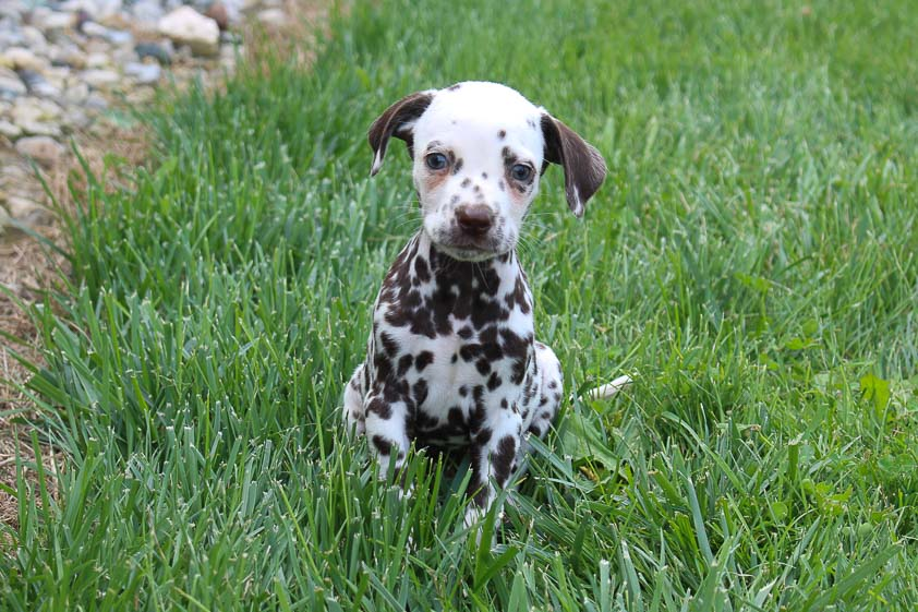 Gorden - AKC Dalmatian male doggie for sale in Spencerville, Indiana