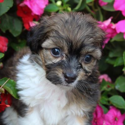 Liam - puppy Havanese-Poodle mix pupper male for sale at Spencerville, Indiana