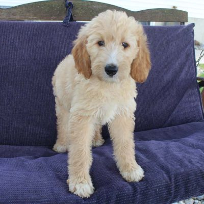Angel - Goldendoodle female pup for sale near Grabill, Indiana