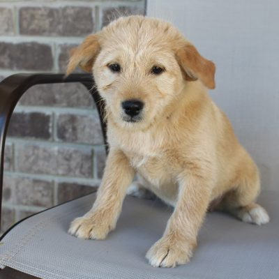 Tammy - Poodle-Shiba Inu mix puppy for sale in New Haven, Indiana