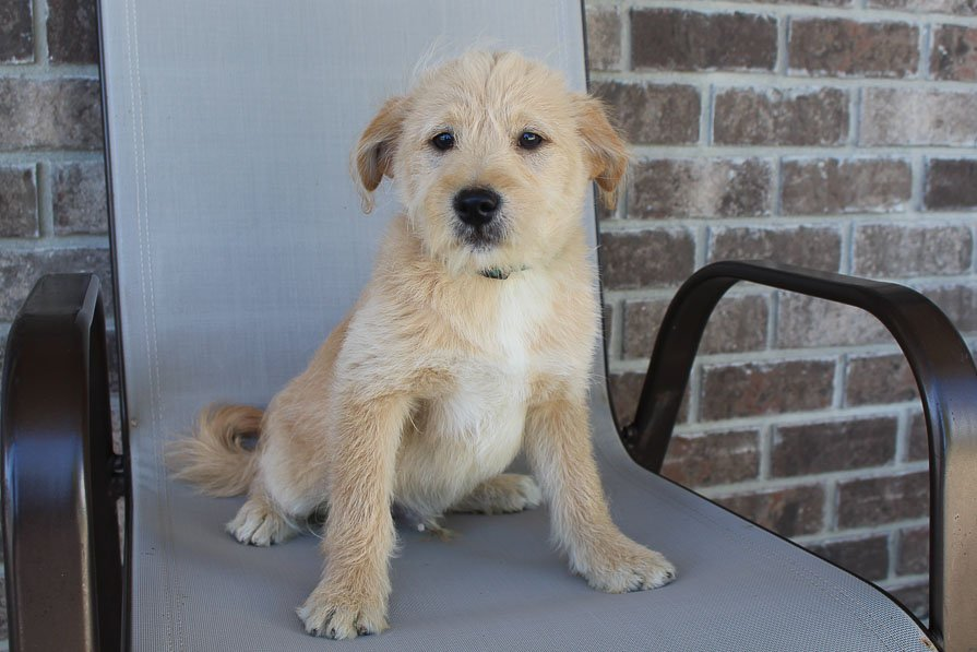 Timmy - Poodle-Shiba Inu mix male puppie for sale in New Haven, Indiana