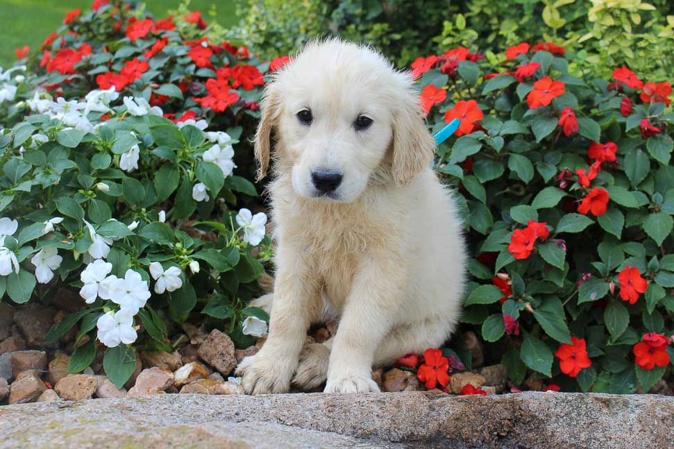 Lassy - AKC English Cream Golden Retriever female pup for sale in New Haven, Indiana