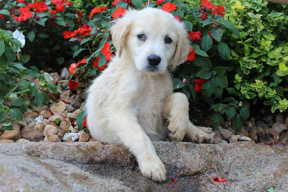 Kelsea - AKC English Cream Golden Retriever female puppy for sale near New Haven, Indiana
