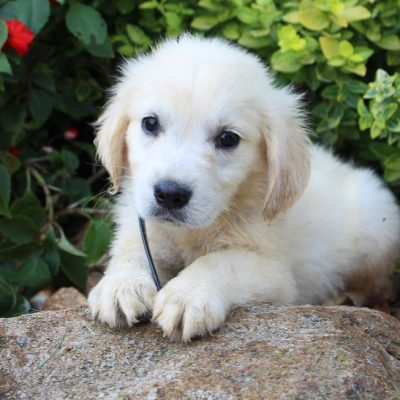 Blake - AKC English Cream Golden Retriever male puppy for sale at New Haven, Indiana