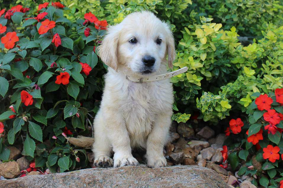 Bentley - AKC English Cream Golden Retriever male pupper for sale at New Haven, Indiana