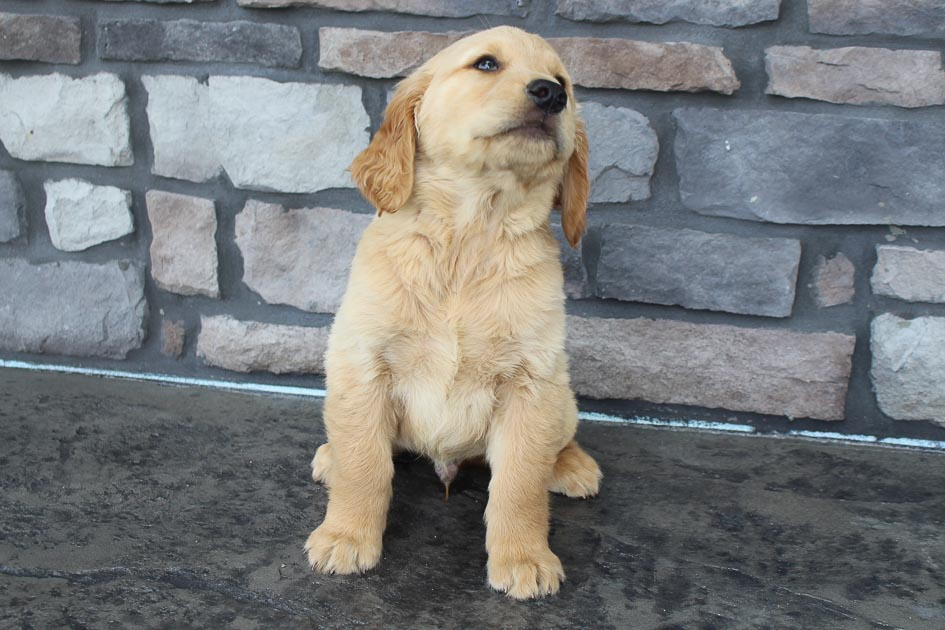 Dez - AKC Golden Retriever male puppy for sale at Grabill, Indiana