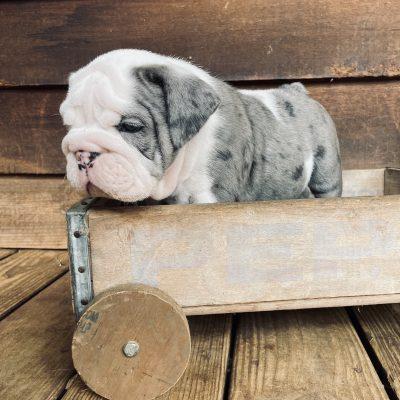 SOLD.....Wesson - AKC English Bulldog male for sale in Sparta, North Carolina