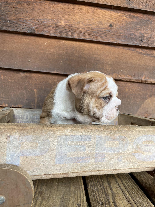 Betsy - AKC English Bulldog female puppy for sale near Sparta, North Carolina
