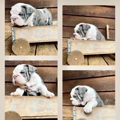 SOLD....Remy - AKC English Bulldog puppie for sale near Sparta, North Carolina