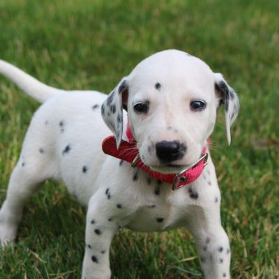 Shelby - AKC Dalmatian female pup for sale at New Haven, Indiana