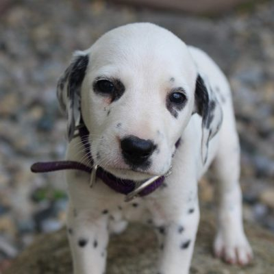 Jack - AKC Dalmatian male puppie for sale in New Haven, Indiana