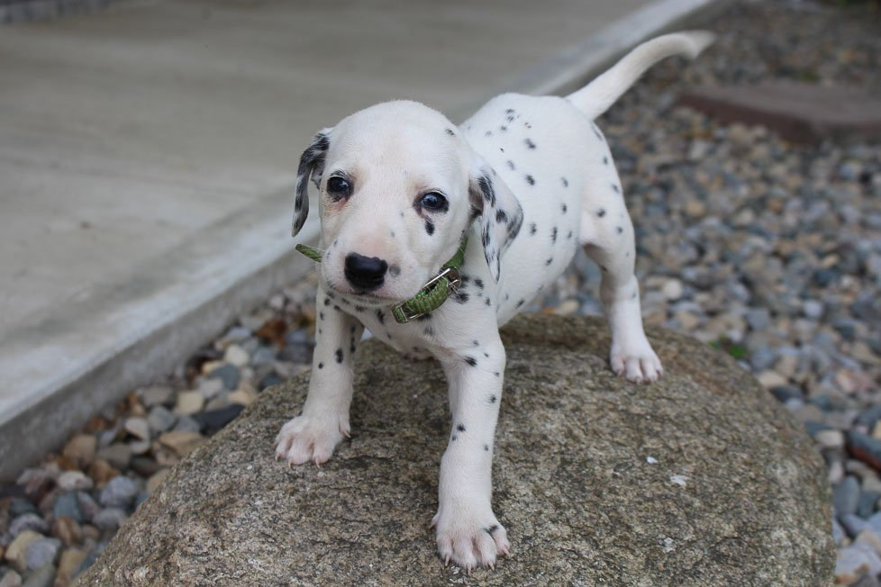 Zeke - AKC Dalmatian male doggie for sale at New Haven, Indiana