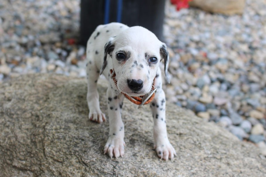 Stanley - male AKC Dalmatian puppy for sale near New Haven, Indiana