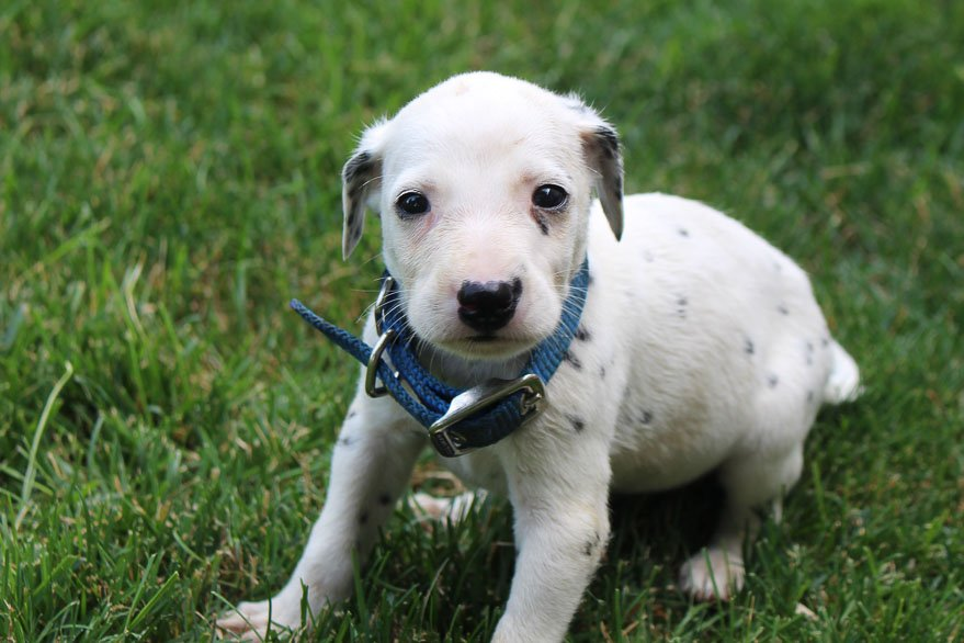 Jake - AKC Dalmatian male pup for sale in New Haven, Indiana