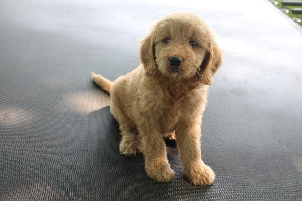 Chelsea - Goldendoodle female doggie for sale at New Haven, Indiana
