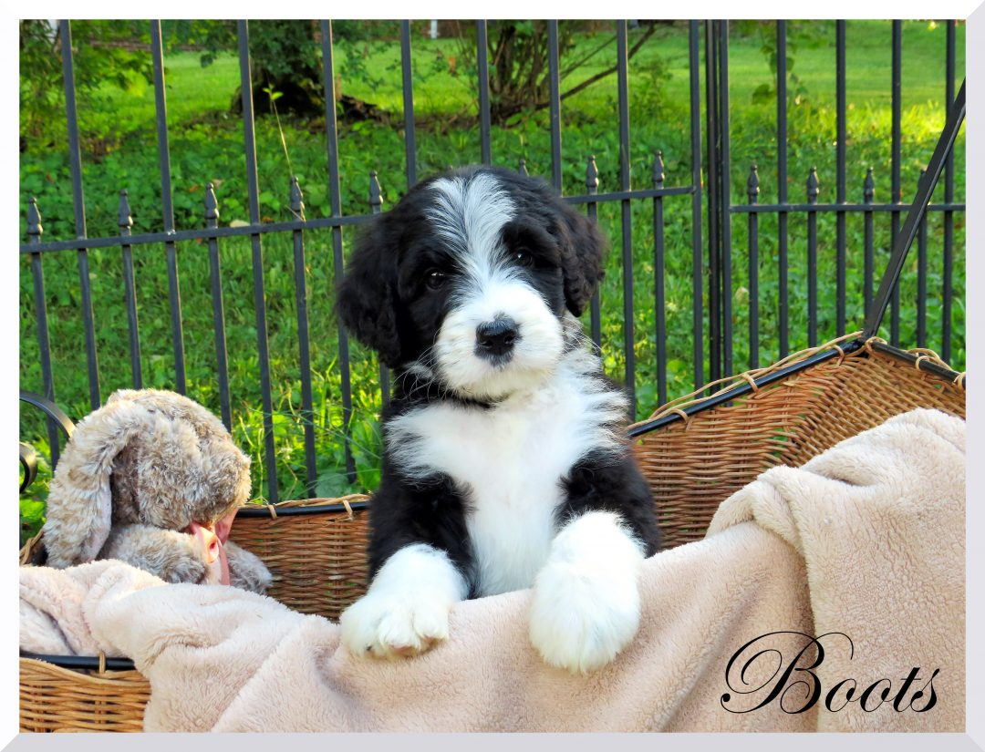 Boots - Bernedoodle female puppie for sale near Bristol, Tennessee