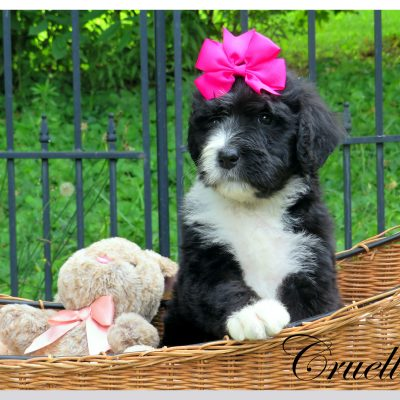 Cruella - Bernedoodle female pupper for sale near Bristol, Tennessee