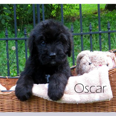 Oscar - Bernedoodle male puppy for sale in Bristol, Tennessee