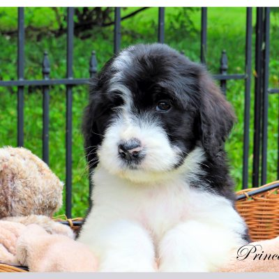 Princeton - pup Bernedoodle male for sale at Bristol, Tennessee