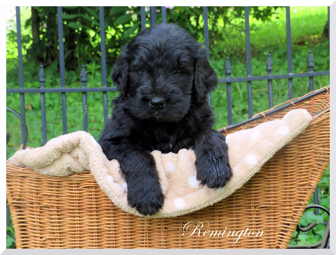 Newfiedoodle Newfypoo - puppy male for sale