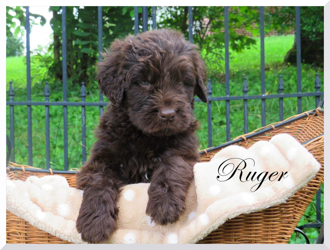Ruger - doggie Newfiedoodle male for sale in Bristol, Tennessee