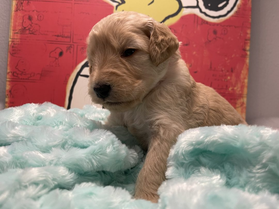 Breezy - Goldendoodle male puppy for sale at Navarre, Florida