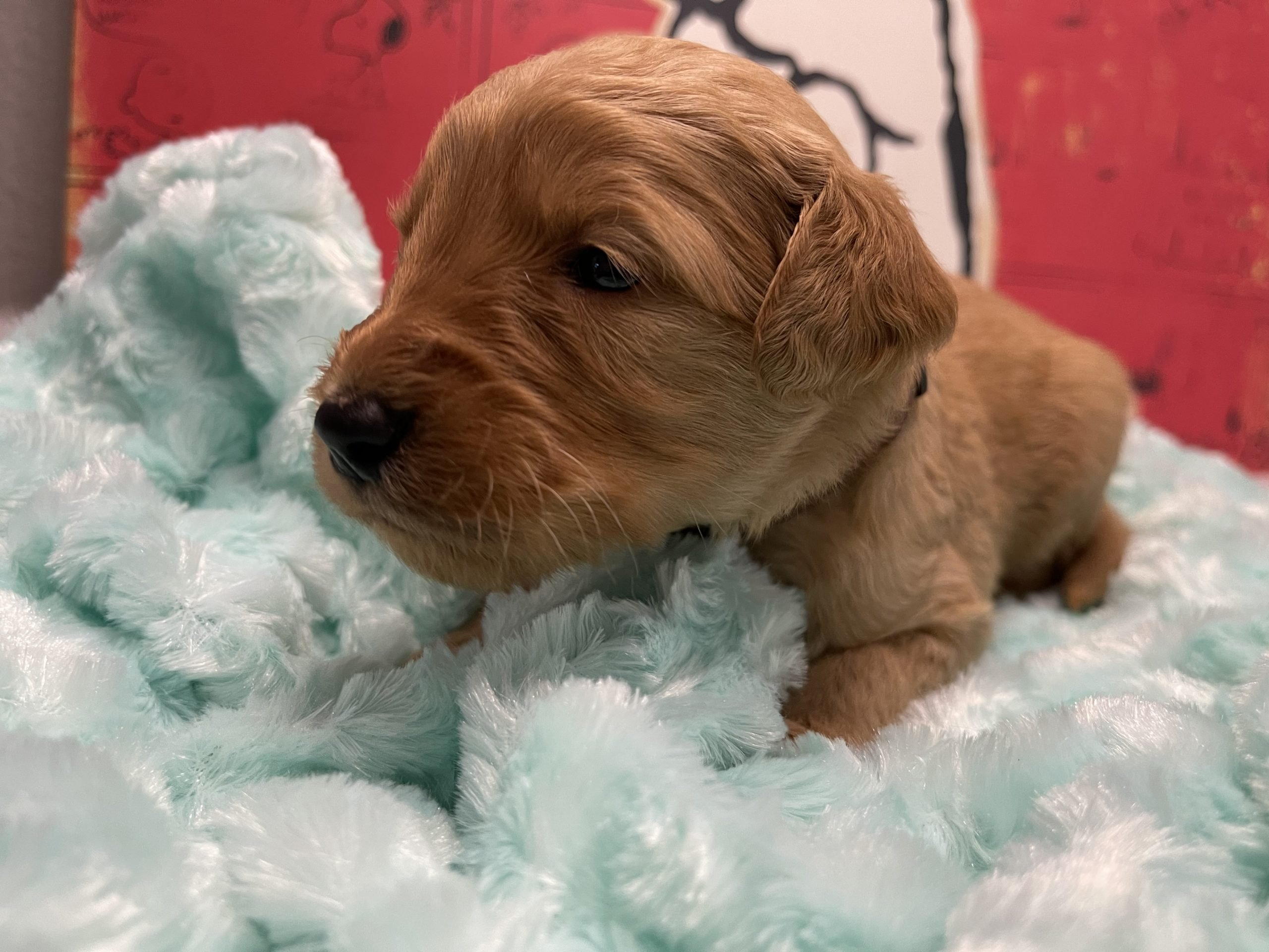 Marley - Goldendoodle Puppy