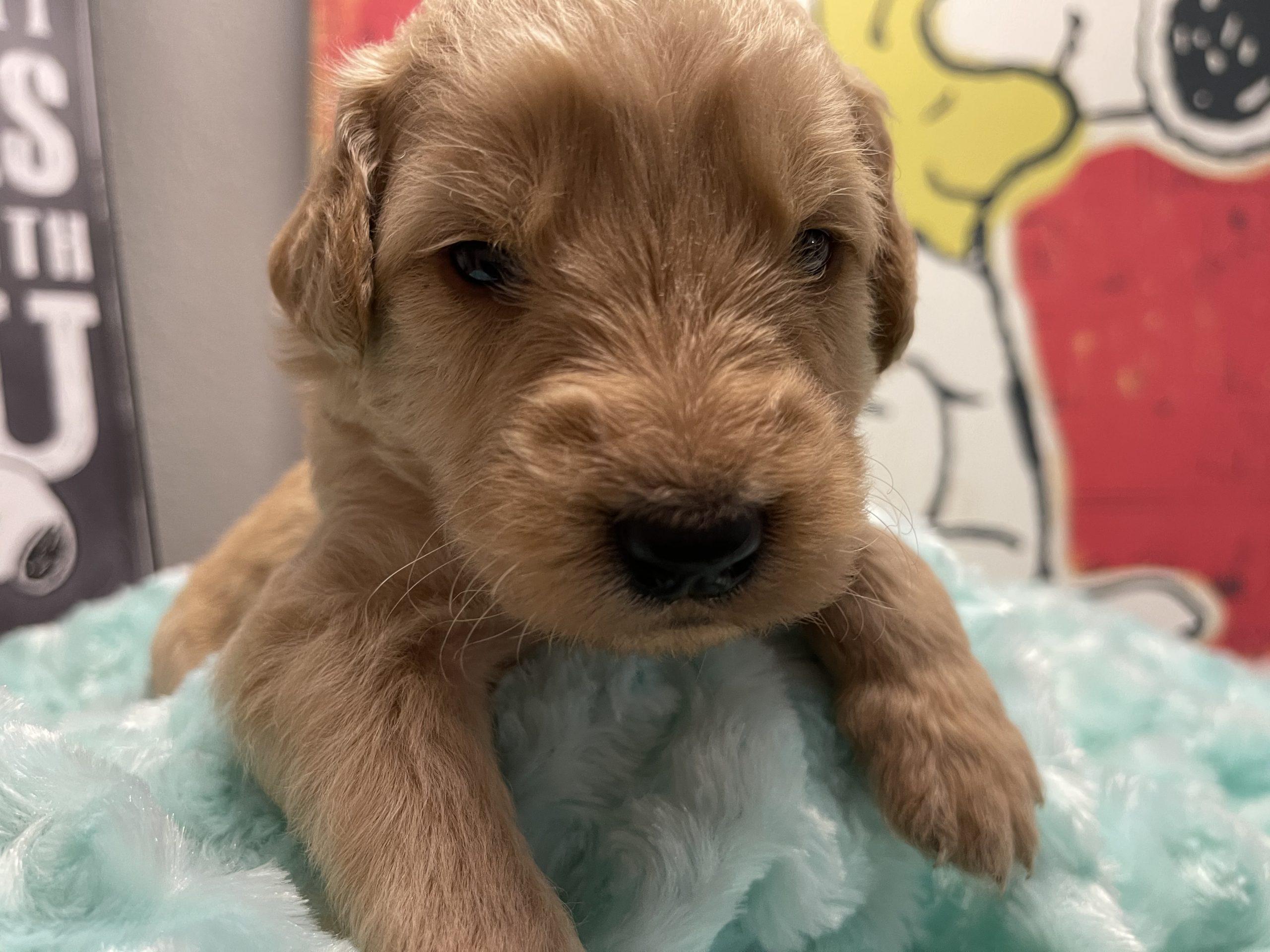 Milan - Goldendoodle Puppy