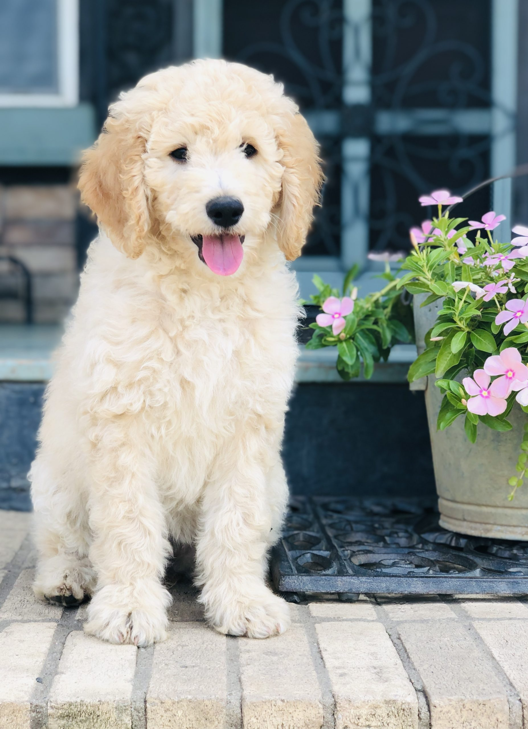 Cammie - Goldendoodle female pupper for sale at Fort Smith, Arkansas
