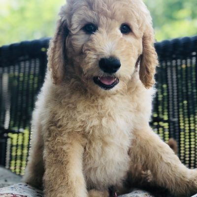 Moss - Goldendoodle male pup for sale in Fort Smith, Arkansas
