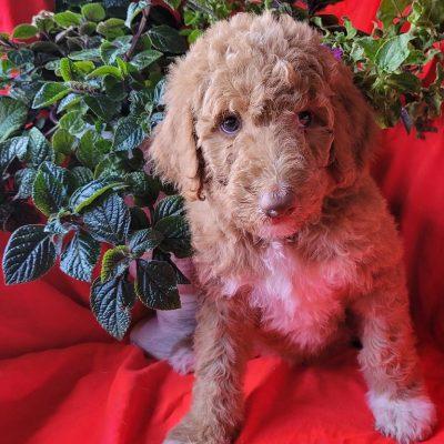 Ria - Designer Bordoodle female puppy for sale near Dolores, Colorado