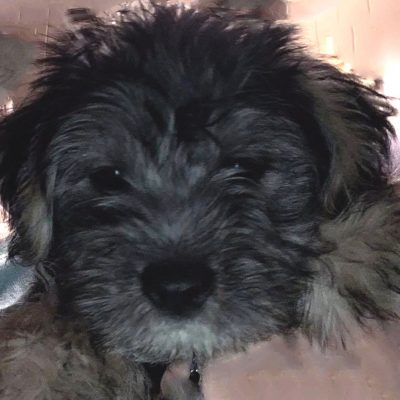 Gillian - Border Terrier and Havanese Mix puppy for sale in Birmingham, Alabama