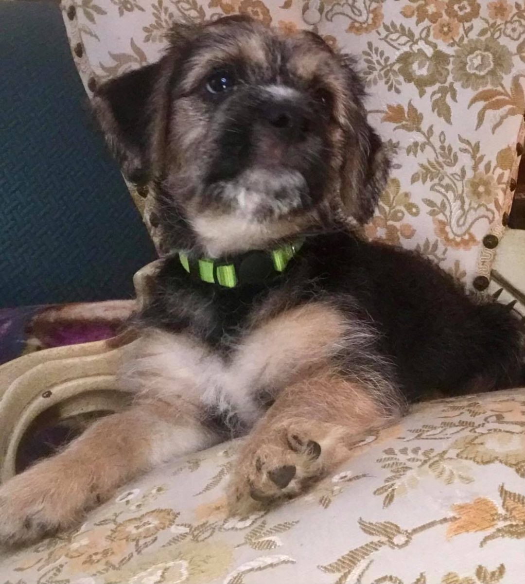 Skipper, Precious Border Terrier/ Havanese Terrier Mix, Your New Family Member